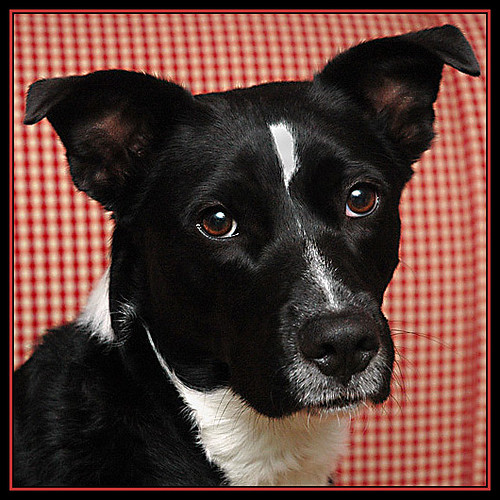 Border Collie Pit Bull Lab Mix