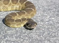 rattlesnake on the bike path