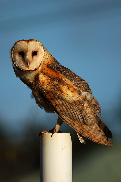 Kauai Barn Owl Flickr Photo Sharing