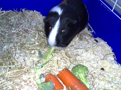 animal, guinea pig, pet, mammal,