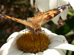 Painted Lady eating a White Daisy