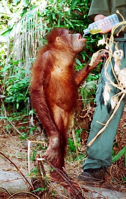 Rasa Ria Orang Sanctuary - Sabah, Borneo