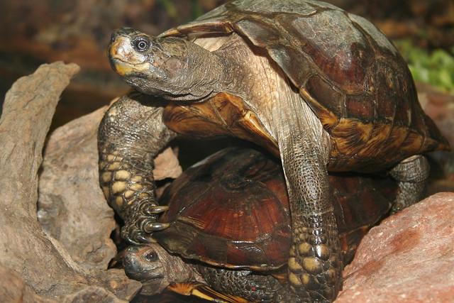 Tortoise Sex 103
