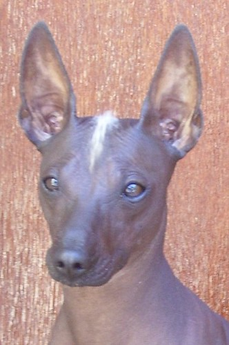 Flickriver: Most interesting photos tagged with xoloitzcuintli