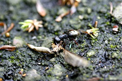 ant carrying a dragonfly carcass  MG 4722