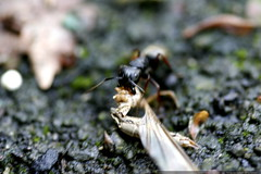 ant carrying a dragonfly carcass  MG 4734