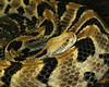 Timber Rattlesnake - Photo (c) Tad Arensmeier, some rights reserved (CC BY)