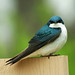 My very first Tree Swallow shot!!!! by nature55