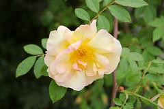 garden roses, floribunda, flower, yellow, plant, rosa rubiginosa, macro photography, wildflower, flora, rosa pimpinellifolia, rosa rugosa, petal,