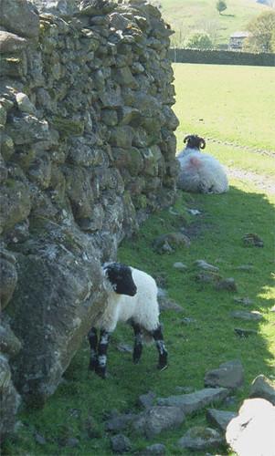 09-sheep-two
