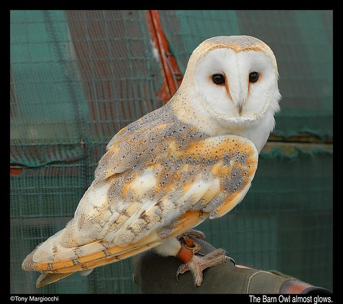 Barn Owl Glowing.jpg