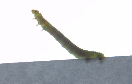 CaterpillarOnPaperedge7460