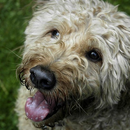 Rusty-Goldendoodle