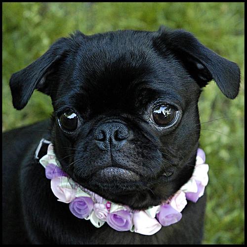 Lola 2-Pug