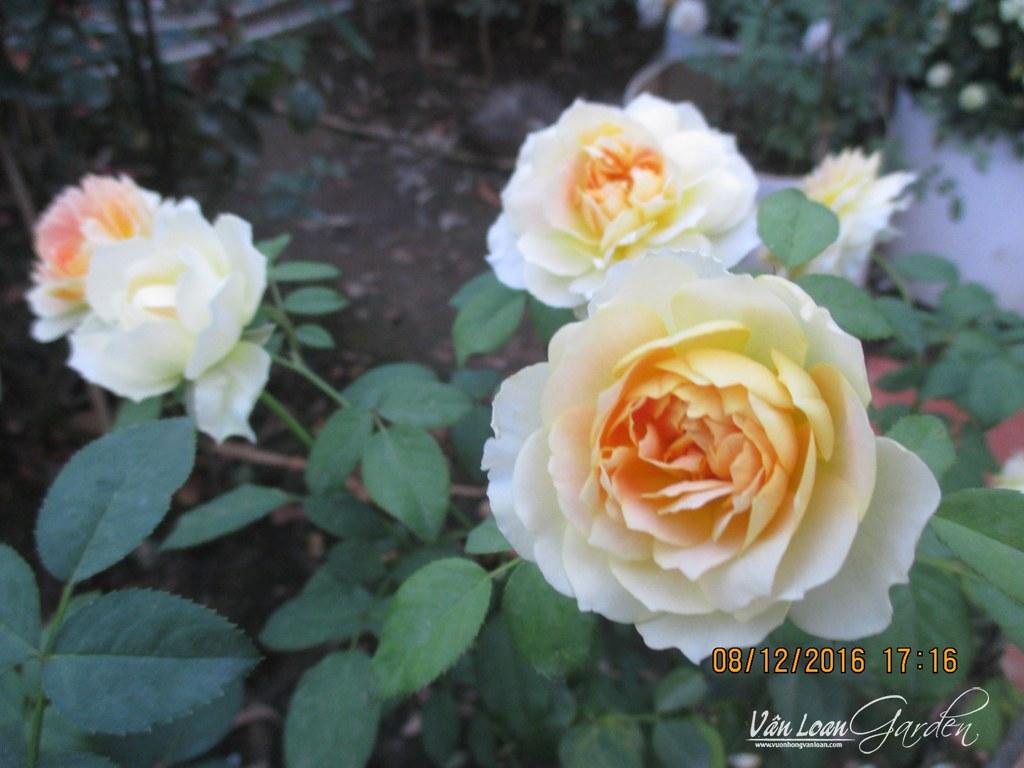 hong molieux hoa hong ngoai (8)-vuonhongvanloan.com