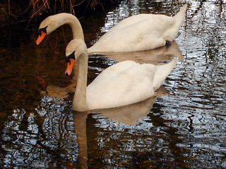 Two swans a swimming...