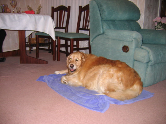 The Fattest Retriever in Australia?