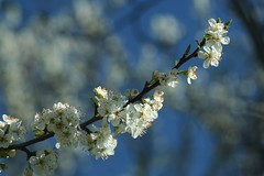 blossom, flower, branch, tree, nature, macro photography, flora, close-up, prunus spinosa, cherry blossom, spring, twig,