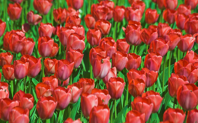 Field of red tulips, home to one bee | Flickr - Photo Sharing!