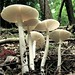 Eastern North American Destroying Angel - Photo (c) Kathie Hodge, some rights reserved (CC BY-NC-SA)