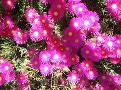 caryophyllales(0.0), dorotheanthus bellidiformis(1.0), annual plant(1.0), flower(1.0), flora(1.0), ice plant(1.0), pink(1.0), petal(1.0),