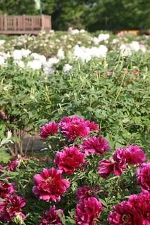 Peony Garden in Gosen City, Niigata, Japan