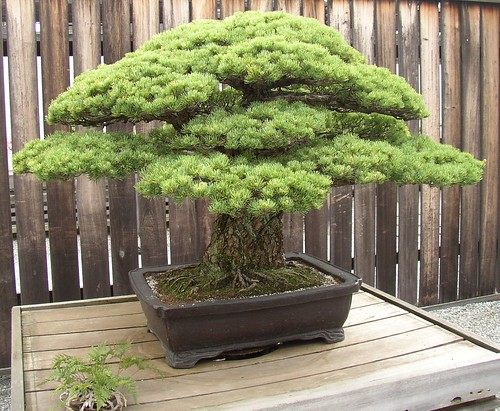 Arboles bonsai los peque os taringa for Bonsai italia