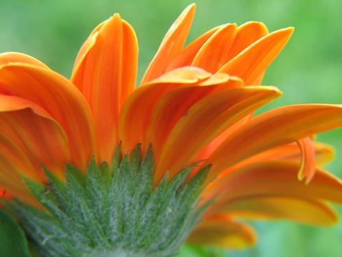 Orange Gerber Daisy