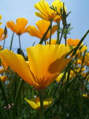 20070520 California Poppies