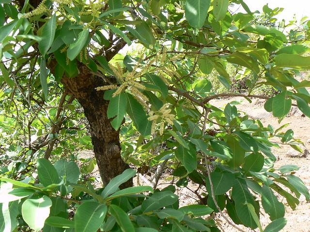 Black marudah combretaceae rangoon creeper family for Terrace meaning in tamil