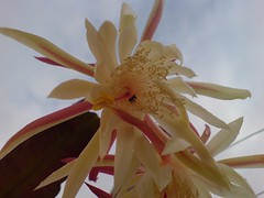 blossom(0.0), moonlight cactus(0.0), epiphyllum anguliger(0.0), cactus family(0.0), plant stem(0.0), caryophyllales(0.0), flower(1.0), yellow(1.0), plant(1.0), macro photography(1.0), flora(1.0), close-up(1.0), epiphyllum oxypetalum(1.0), epiphyllum crenatum(1.0), petal(1.0),