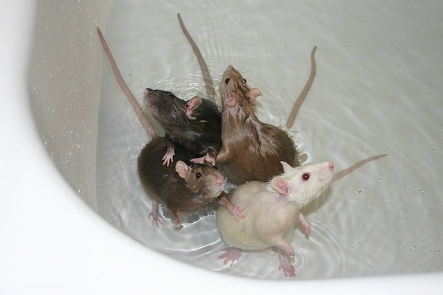 Image result for mice in bathtub