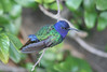 Série com Beija-flor Tesoura (Eupetomena macroura) - series with the Swallow-tailed Hummingbird 8 11-04-07 106 - 9