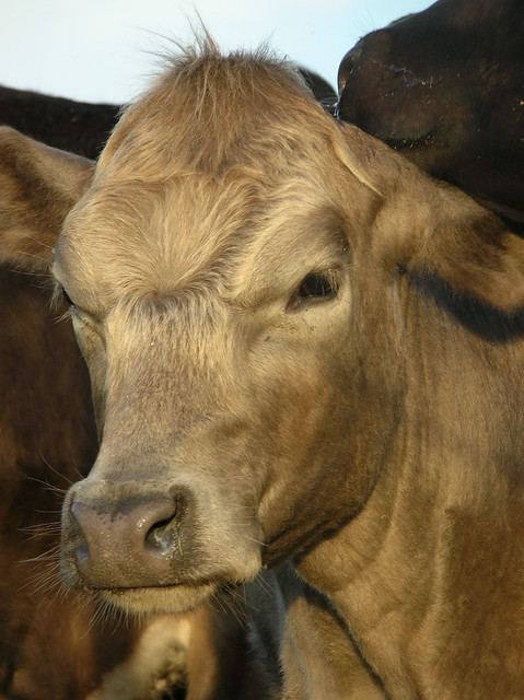 Angry Cow? | Flickr - Photo Sharing!
