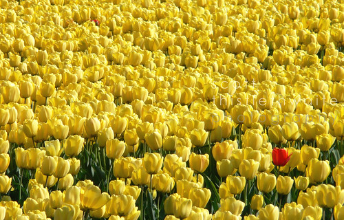 Yellow and Red Tulips - One in a million