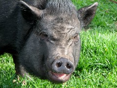 animal, wild boar, domestic pig, pig, snout, fauna, pig-like mammal, pasture, wildlife,