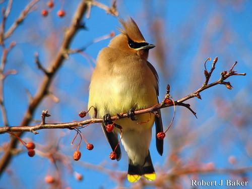 usa birds virginia wildlife feeders birdwatching cedarwaxwing lowellma naturesfinest canons2is backyardpictures robertjbaker
