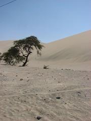 砂漠が侵食してきて木がうもれつつある
