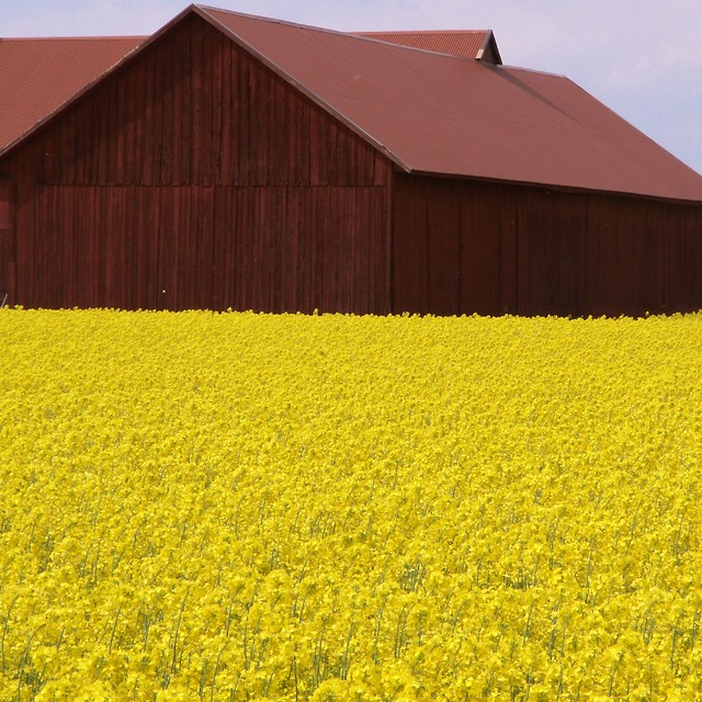Kjula rapeseed with farmhouse in red