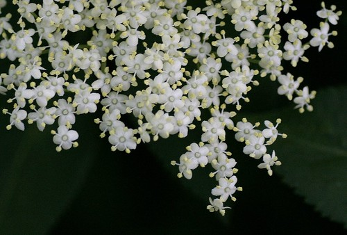 Elderflowers by Liz Jones from Flickr Creative Commons.