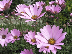 garden cosmos(0.0), oxeye daisy(0.0), floristry(0.0), annual plant(1.0), flower(1.0), marguerite daisy(1.0), flora(1.0), cosmos(1.0), petal(1.0),