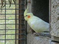cockatoo, animal, parrot, wing, pet, sulphur crested cockatoo, fauna, cockatiel, beak, bird,