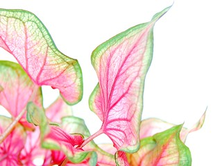 pink & green leaves