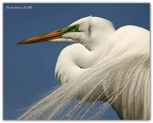 Great White Egret Portrait