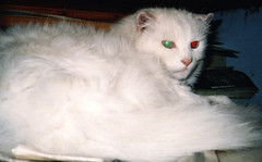 persian(0.0), khao manee(0.0), burmilla(0.0), turkish angora(0.0), ragdoll(0.0), whiskers(0.0), balinese(0.0), domestic long-haired cat(1.0), animal(1.0), turkish van(1.0), small to medium-sized cats(1.0), pet(1.0), mammal(1.0), cat(1.0),