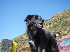 newfoundland(0.0), animal(1.0), dog(1.0), hovawart(1.0), pet(1.0), mammal(1.0), flat-coated retriever(1.0),