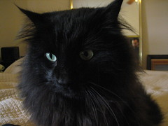 domestic long-haired cat, nose, animal, maine coon, small to medium-sized cats, pet, mammal, black cat, bombay, cat, whiskers, black, nebelung, norwegian forest cat,