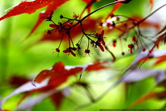 maple seeds on our japanese maple trees    MG 5053