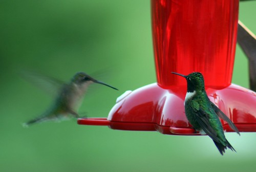 Hummingbird Couple