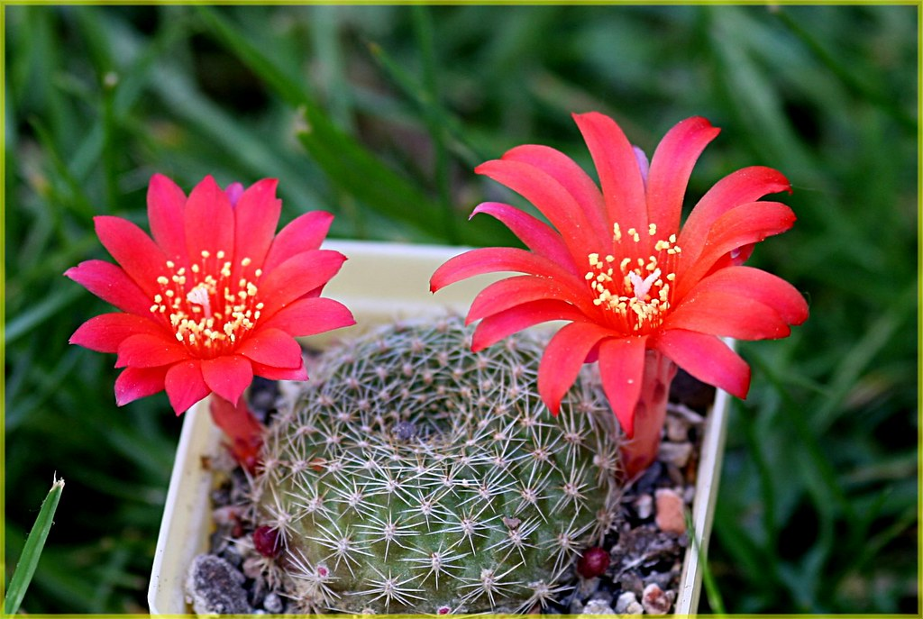 Semis de Rebutia (cactus) - Page 2 491293348_7ef59fa761_b